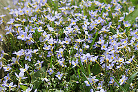 Stock image of bluets wildflowers grown in the great smoky mountains national park, America.