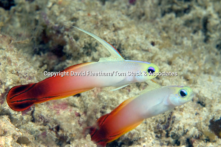 Fire dartfish, Nemateleotris magnifica, are a common sight on the exposed hard bottom of the outer reef zone.  Sipidan Island, Malaysia.