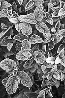 423-83 Spirea bush gleams in fall color while coated with hoarfrost in suburban house landscaping garden, Shorewood, Will County, Illinois