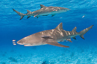 A pair of Lemon Sharks, Negaprion brevirostris, patrol the shallow, warm waters of the Little Bahama Bank. Bahamas, Atlantic Ocean