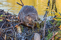 North American Beaver (Castor canadensis) working on dam it has built on a small stream.  Northern Rockies,  Fall.  Fall color off aspen and cottonwood trees is reflecting in water.