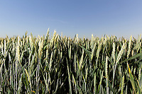 29.5.2020  Winter Wheat <br /> ©Tim Scrivener Photographer 07850 303986<br />      ....Covering Agriculture In The UK.