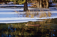 Beaver (Castor canadensis) swimming in partially ice covered beaver pond. Early winter.