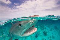 Tiger Shark (Galeocerdo cuvier) split image view in the Bahamas.
