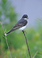 Eastern Kingbird, Stone Harbor, New Jersey