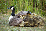 Goslings huddle for warmth under mum's wings by Nicola Miller