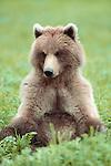 Brown bear, Admiralty Island, Alaska