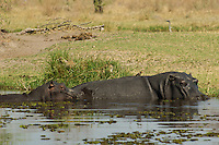 Hippopotamus.  Hippos spend most of their day in water deep enough to cover them because their thin, naked skin is vulnerable to overheating and dehydration.  Here is a mother and her baby in the Okavango Delta, Botswana Africa..