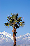 Palm tree and mountains with snow near Palm Springs