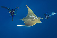 WQ1674-D. Sicklefin Devil Ray (Mobula tarapacana), also called Chilean devil ray. Scuba divers come from all over the world to see these majestic creatures at Princess Alice Bank, a seamount 50 miles offshore Pico Island. Note the attached remoras (Echeneis naucrates). Azores, Portugal, Atlantic Ocean.<br /> Photo Copyright © Brandon Cole. All rights reserved worldwide.  www.brandoncole.com