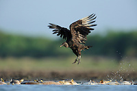 Black Vulture (Coragyps atratus), adult taking of from dead fish, Dinero, Lake Corpus Christi, South Texas, USA
