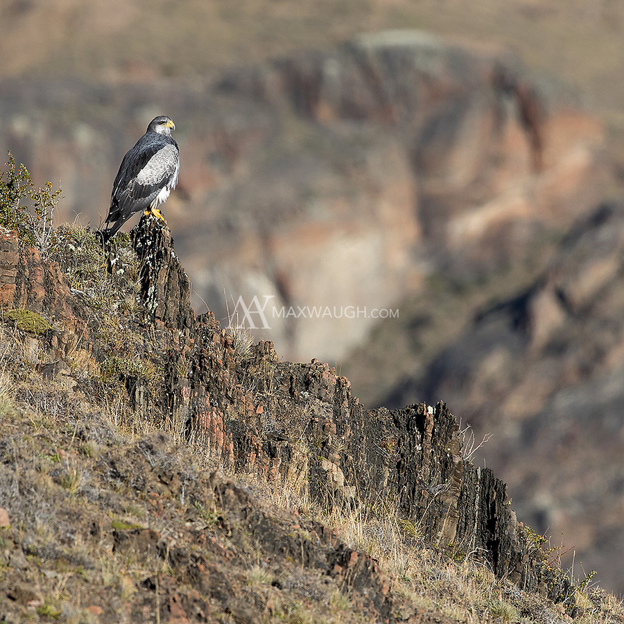 One of Torres del Paine's largest raptors perches on a cliff on an autumn afternoon.