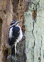 A male Hairy woodpecker works on a tree in Yost Park in Edmonds, Washington.