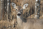 White-tailed deer - doe