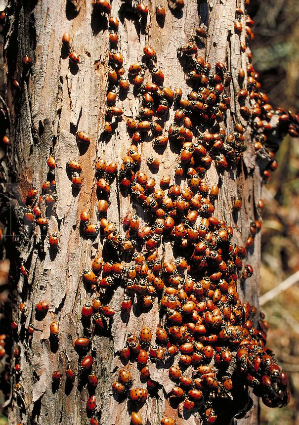 ladybugs aggregating on tree trunk. Dunsmuir California.