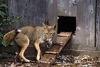 COYOTE raiding chicken coop..Predator/prey. Rocky Mountains..Autumn. (Canis latrans).