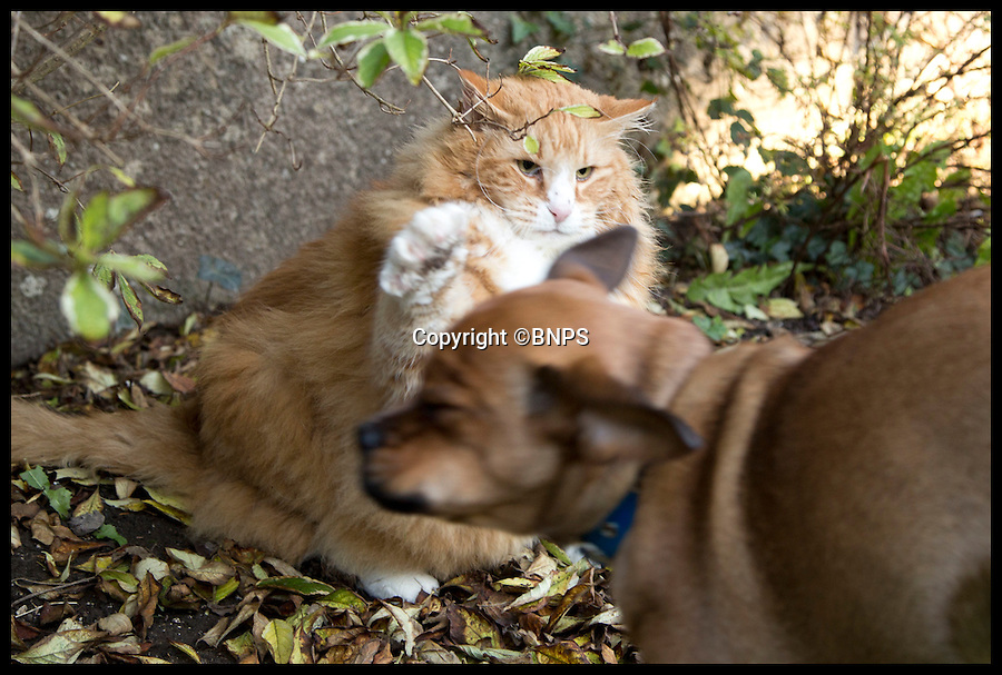 BNPS.co.uk (01202 558833)<br /> Pic: LauraDale/BNPS<br /> <br /> Ulric and his new younger brother Dennis (5 months) play in their garden in Dorchester.<br /> <br /> Britain's fattest cat has now got a doggy trainer to whip him into shape.<br /> <br /> Drill Sergeant Dennis the puppy has got Ulric the cat running, boxing and wrestling in a bid to fight the flab after dieting failed.<br /> <br /> The nine-year-old Norwegian Forest cat was declared morbidly obese by his vet last year when he tipped the scales at a whopping 2st 2lbs, the average weight of a three-year-old child and twice his normal weight.