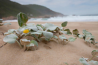 South African Beach Daisy (Arctotheca populifolia). Native to South Africa. Robberg Nature Server.  Plettenberg Bay, South Africa.