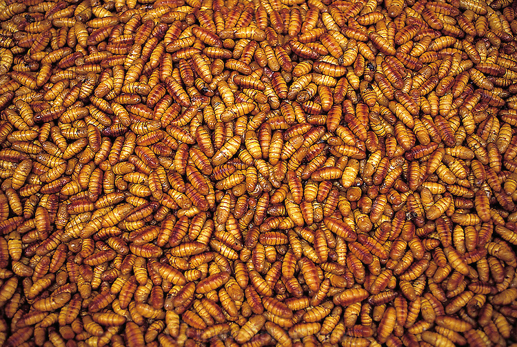 Live silkworm pupae are sold in the Qing Ping market; the pupae are often stir-fried along with ginger, onion, rice wine, and garlic, Guangzhou, China. (Man Eating Bugs page 90 Top)