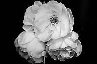 Roses, Film