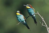 European Bee-eater, Merops apiaster,pair, Scrivia River, Italy, Europe