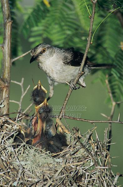 Northern Mockingbird, Mimus polyglottos,adult at nest feeding young, Welder Wildlife Refuge, Sinton, Texas, USA, June 2005