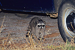 Raccoon At Night