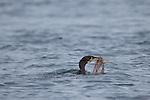 A Cormorate dived, and came up with a fish, and a little bit more | En Skarv dykket og kom opp med en fisk med noget attpå :-)