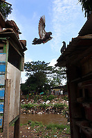 A pigeon flies between coops in a community in central Jakarta.<br /> <br /> To license this image, please contact the National Geographic Creative Collection:<br /> <br /> Image ID:  1588032<br />  <br /> Email: natgeocreative@ngs.org<br /> <br /> Telephone: 202 857 7537 / Toll Free 800 434 2244<br /> <br /> National Geographic Creative<br /> 1145 17th St NW, Washington DC 20036