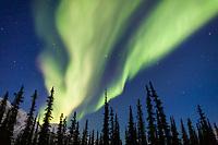 aurora borealis over the silhouetted spruce trees, arctic, Alaska