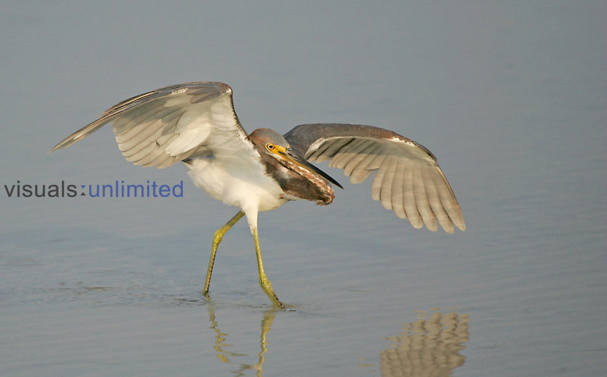 Tricolored Heron with raised wings while hunting ,Egretta tricolor,, Southern USA.