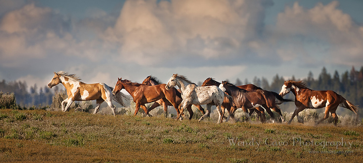 Band of Horsers in a pasture, galloping to the top of a hill in Eastern Oregon.