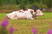 Cow Brown and white Profile Ruminating Smaland region. Sweden, Europe.