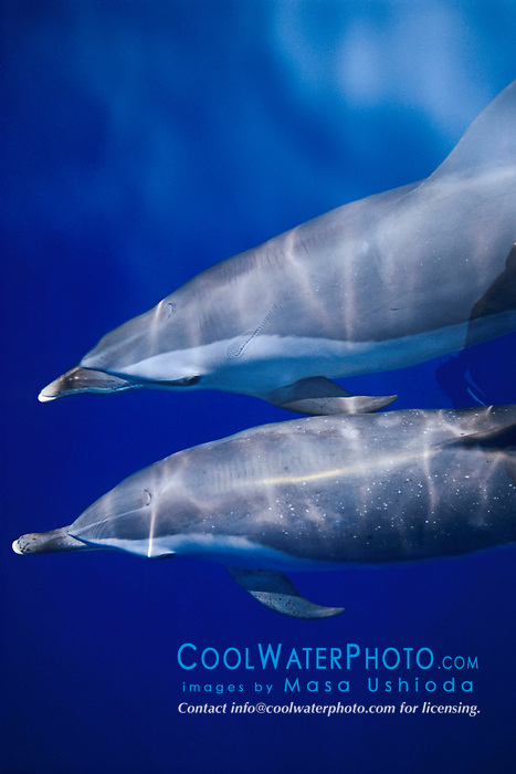 pantropical spotted dolphins, Stenella attenuata, bow-riding, Kona Coast, Big Island, Hawaii, USA, Pacific Ocean