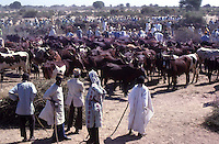 Red Fulani Cows for sale at local market