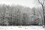 A snow covered treed swamp