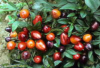 HS41-180x  Pepper - hot pepper, ornamental, Pretty in Purple variety