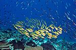Mulliodichthys vanicolensis, Yellowfin goatfish, Kurkap Seamount, Indonesia