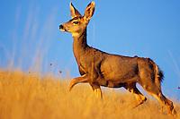 Mule Deer doe (Odocoileus hemionus).  Western U.S., Fall.