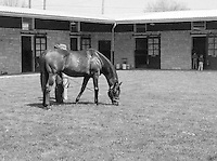 Creme dela Creme, born in 1963, died the week after this photo was taken, at age 14.  <br /> <br /> Spendthrift Farm, Kentucky, 1977.