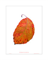 Dogwood tree orange autumn foliage leaf (Cornus florida) in California garden, November 19