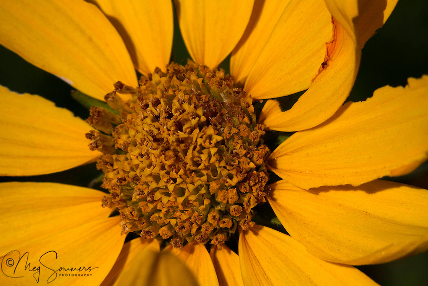 Little Sunflower (Helianthella uniflora) grow in rocky areas at the top of meadow slopes. At times they will grow in great profusion.