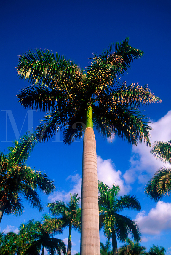 Palm tree, Florida