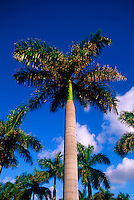 Palm tree, Florida