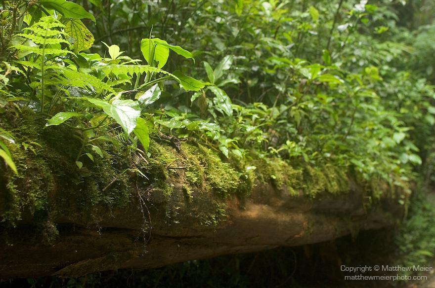 Monteverde Forest Reserve, Monteverde, Costa Rica; moss and ferns grow on a fallen tree , Copyright © Matthew Meier, matthewmeierphoto.com All Rights Reserved