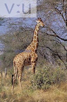 Reticulated Giraffe feeding on an Acacia tree ,Giraffa camelopardalis reticulata,, Samburu National Reserve, Kenya.