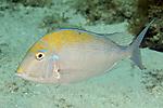 Calamus proridens, Littlehead porgy, Florida Keys