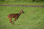 "© Joel Goodman - 07973 332324 . Stockport , UK . The deer runs across the open park . A wild deer which was discovered in a park by the busy Manchester Road in Stockport has been rescued after three days . The park was closed and locked by Stockport Council officials on Monday 24th June after the young male started bolting across the playing field and playground and butting its head and antlers against railings . But with the gates locked , the young animal could not escape . For three days local people came out to watch the deer from the fence as it hid in bushes around the edge of the park , occasionally venturing out across the playing pitch and in the direction of the busy A626 road . The landlord at "" The Hind's Head "" pub opposite , Stuart Kirkham , a Manchester United fan , named the beast "" Ronaldo "" because of its red colouring . After three days , with no hope of escape under its own steam and with the park still closed , the RSPCA and council brought in a veterinary surgeon to help . The animal was tranquilised and driven to nearby Reddish Vale Country Park , where he was brought round and released back in to the wild . Photo credit : Joel Goodman"