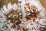 Puerto Galera, Oriental Mindoro, Philippines; detail view of a pair of Christmas tree worms