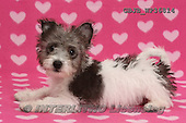 Kim, ANIMALS, REALISTISCHE TIERE, ANIMALES REALISTICOS, dogs, photos,+Jack Russell x Westie pup, Mojo, 12 weeks old, lying with head up on pink hearts background.,++++,GBJBWP36814,#a#